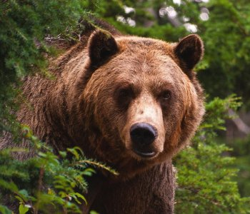 Бурый медведь – желанная добыча охотника