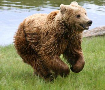 Медведь-шатун самый страшный зверь в лесу