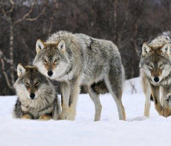 Волки. Охота и контроль хищника