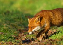 Лисица - хитрый хищник. Ловим лисицу