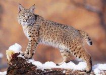 Охота на рысь в зимний период